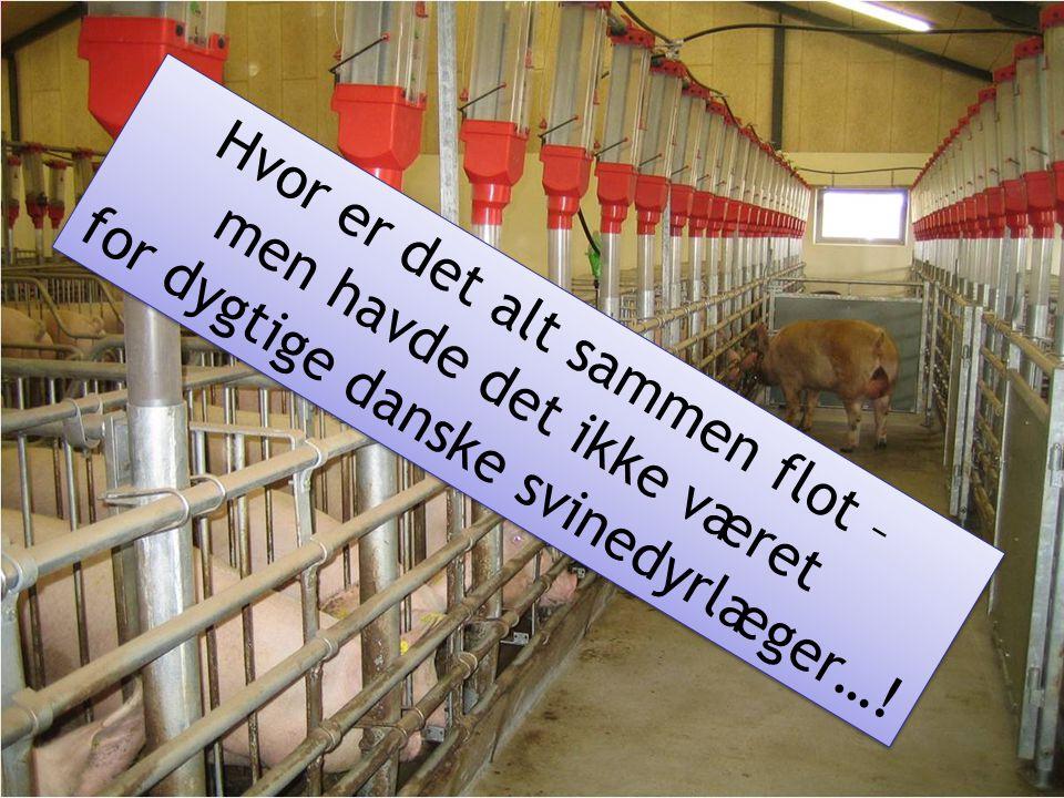 Hvor er det alt sammen flot – men havde det ikke været for dygtige danske svinedyrlæger…! Hvor er det alt sammen flot – men havde det ikke været for d