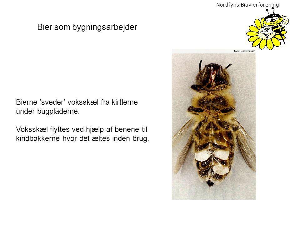 Nordfyns Biavlerforening Bierne 'sveder' voksskæl fra kirtlerne under bugpladerne. Voksskæl flyttes ved hjælp af benene til kindbakkerne hvor det ælte
