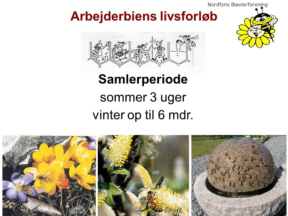 Arbejderbiens livsforløb Samlerperiode sommer 3 uger vinter op til 6 mdr.