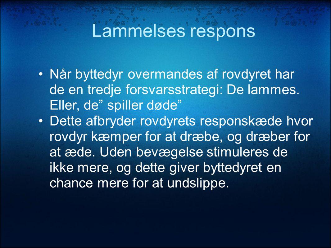 Lammelses respons •Når byttedyr overmandes af rovdyret har de en tredje forsvarsstrategi: De lammes.
