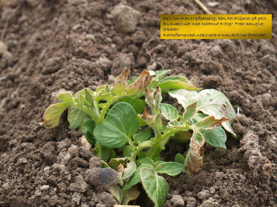 Når kartoflerne blomstrer er det tid at grave op.Sidst i maj hvis vejret har været godt.