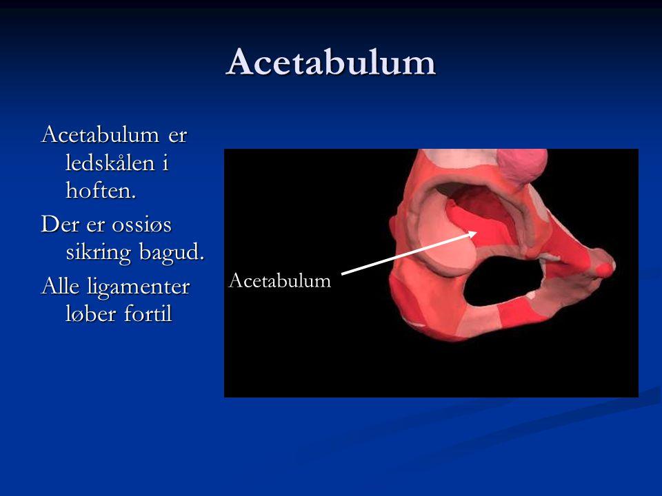 Acetabulum Acetabulum er ledskålen i hoften. Der er ossiøs sikring bagud. Alle ligamenter løber fortil Acetabulum