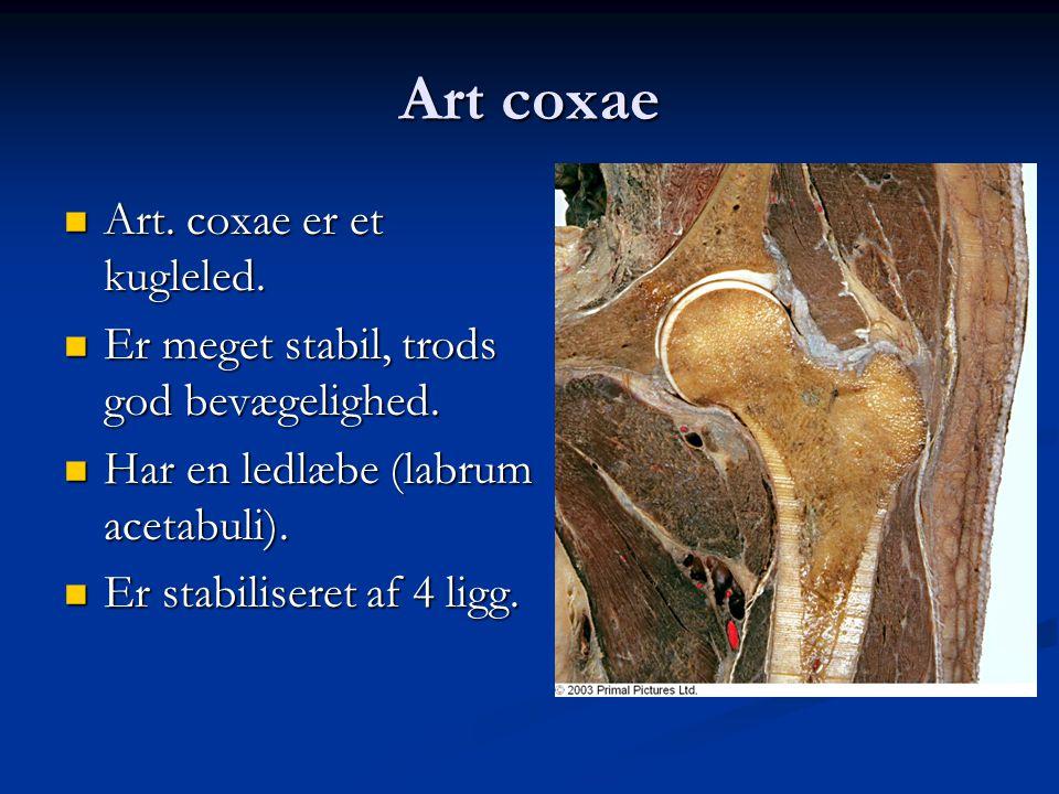 Art coxae  Art. coxae er et kugleled.  Er meget stabil, trods god bevægelighed.  Har en ledlæbe (labrum acetabuli).  Er stabiliseret af 4 ligg.