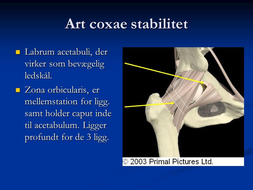 Art coxae stabilitet  Labrum acetabuli, der virker som bevægelig ledskål.  Zona orbicularis, er mellemstation for ligg. samt holder caput inde til a