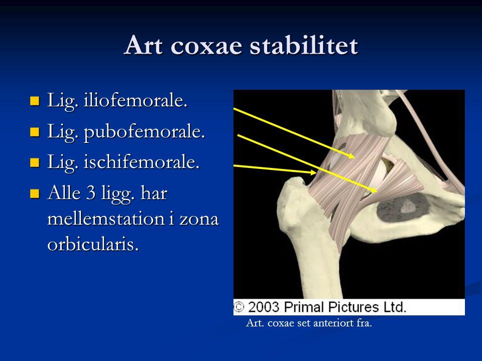 Art coxae stabilitet  Lig. iliofemorale.  Lig. pubofemorale.  Lig. ischifemorale.  Alle 3 ligg. har mellemstation i zona orbicularis. Art. coxae s