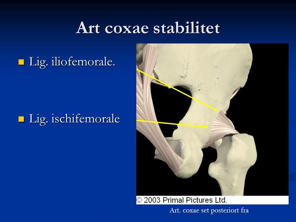 Art coxae stabilitet  Lig. iliofemorale.  Lig. ischifemorale Art. coxae set posteriort fra