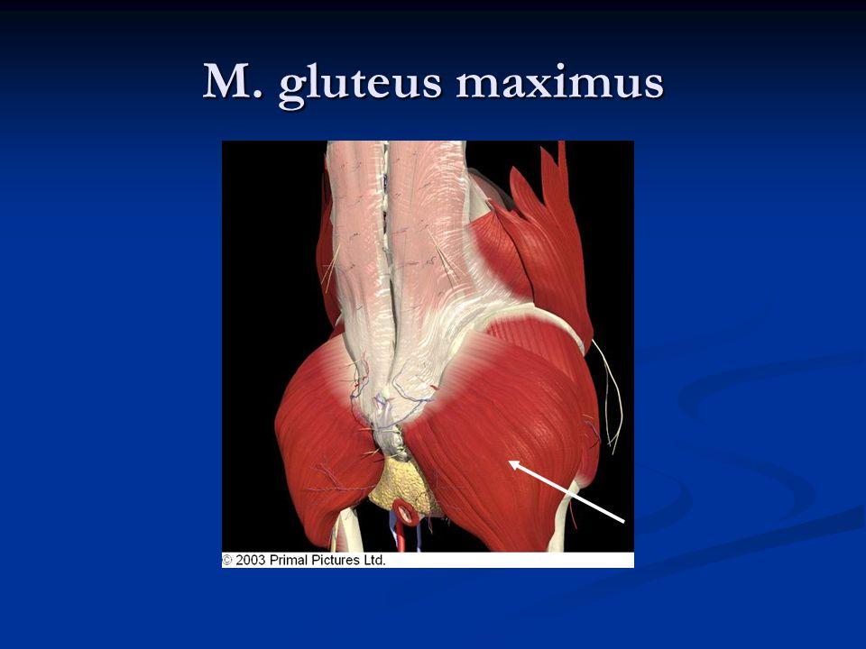 M. gluteus maximus