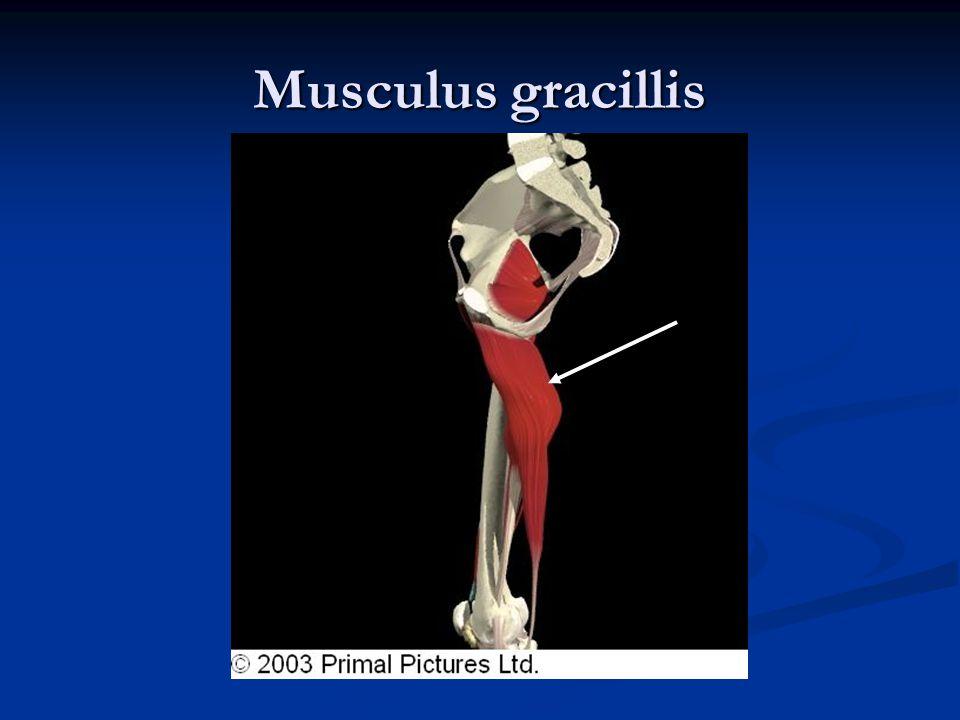 Musculus gracillis