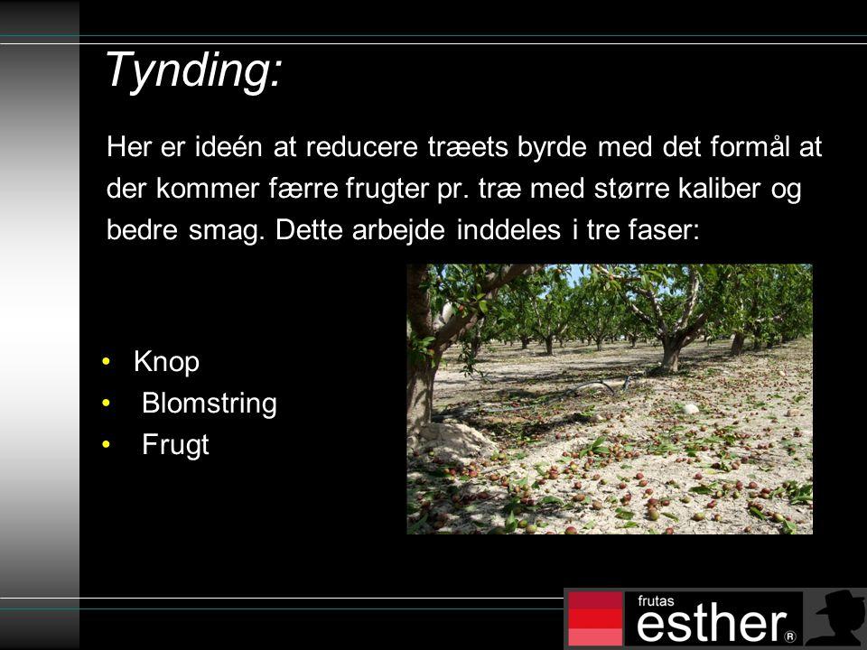 Tynding: Her er ideén at reducere træets byrde med det formål at der kommer færre frugter pr.
