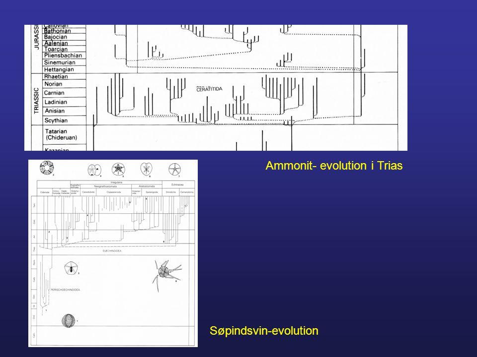 Ammonit- evolution i Trias Søpindsvin-evolution