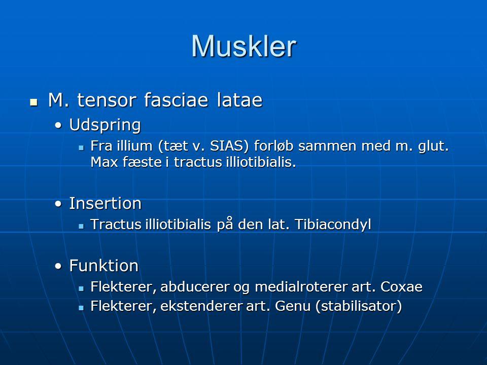 Muskler  M.tensor fasciae latae •Udspring  Fra illium (tæt v.
