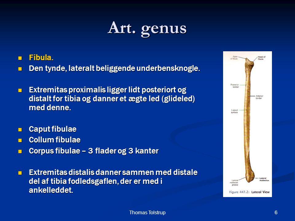 27Thomas Tolstrup Art.genus  Musculus semitendinosus   U: Caput longum fra tuber ischiadicum.
