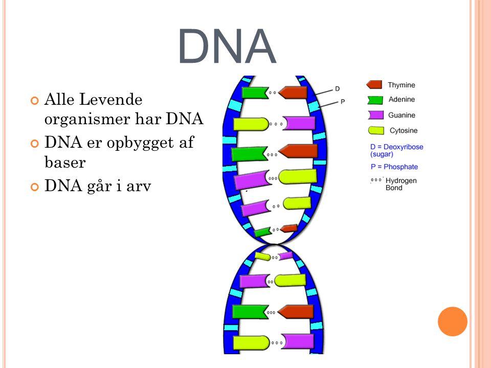 DNA Alle Levende organismer har DNA DNA er opbygget af baser DNA går i arv
