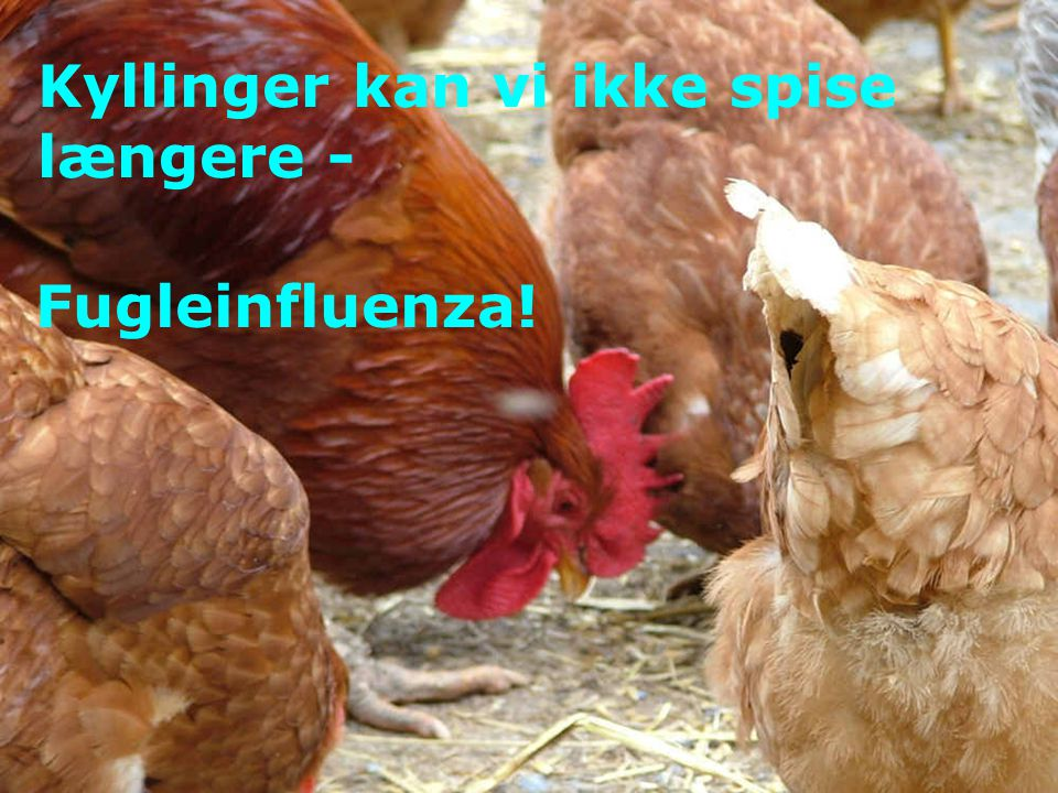 Kyllinger kan vi ikke spise længere - Fugleinfluenza!