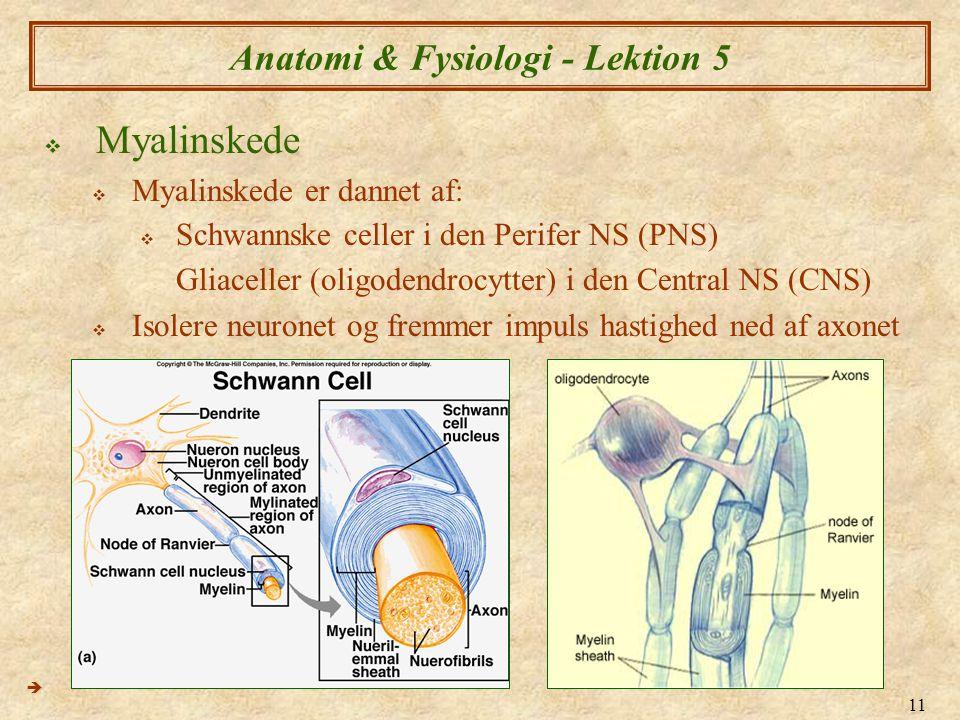 11 Anatomi & Fysiologi - Lektion 5  Myalinskede  Myalinskede er dannet af:  Schwannske celler i den Perifer NS (PNS) Gliaceller (oligodendrocytter)