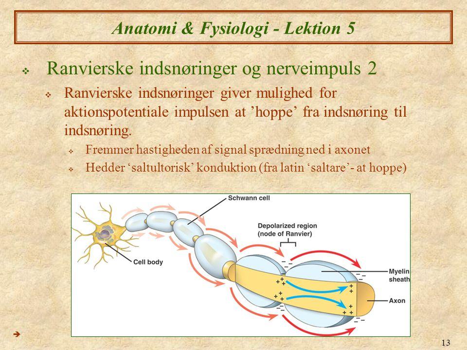 13 Anatomi & Fysiologi - Lektion 5  Ranvierske indsnøringer og nerveimpuls 2  Ranvierske indsnøringer giver mulighed for aktionspotentiale impulsen