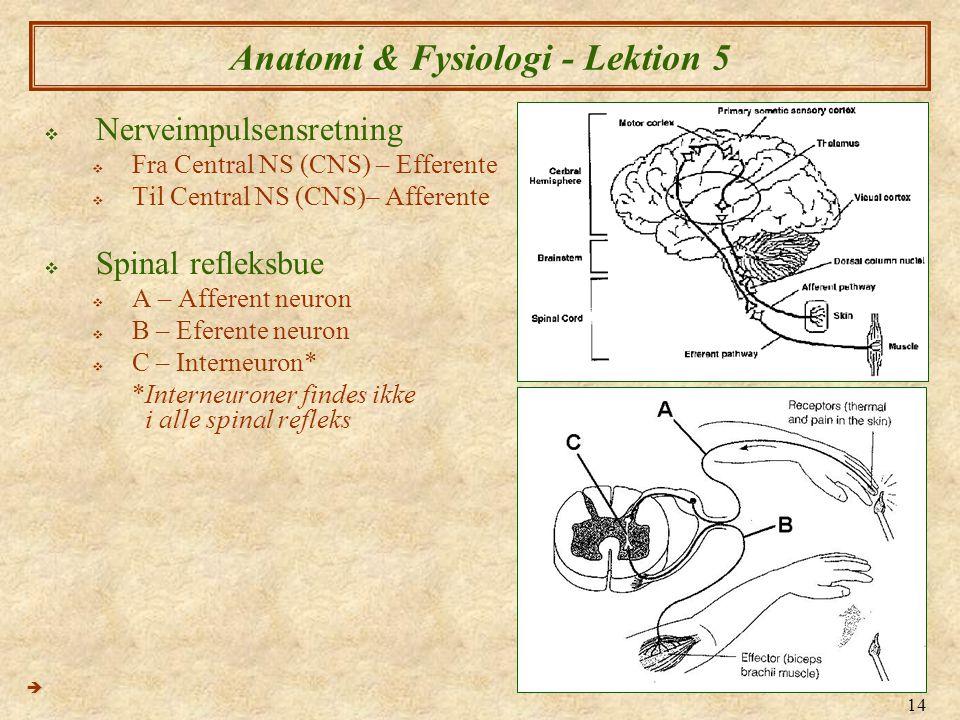 14 Anatomi & Fysiologi - Lektion 5  Nerveimpulsensretning  Fra Central NS (CNS) – Efferente  Til Central NS (CNS)– Afferente  Spinal refleksbue 