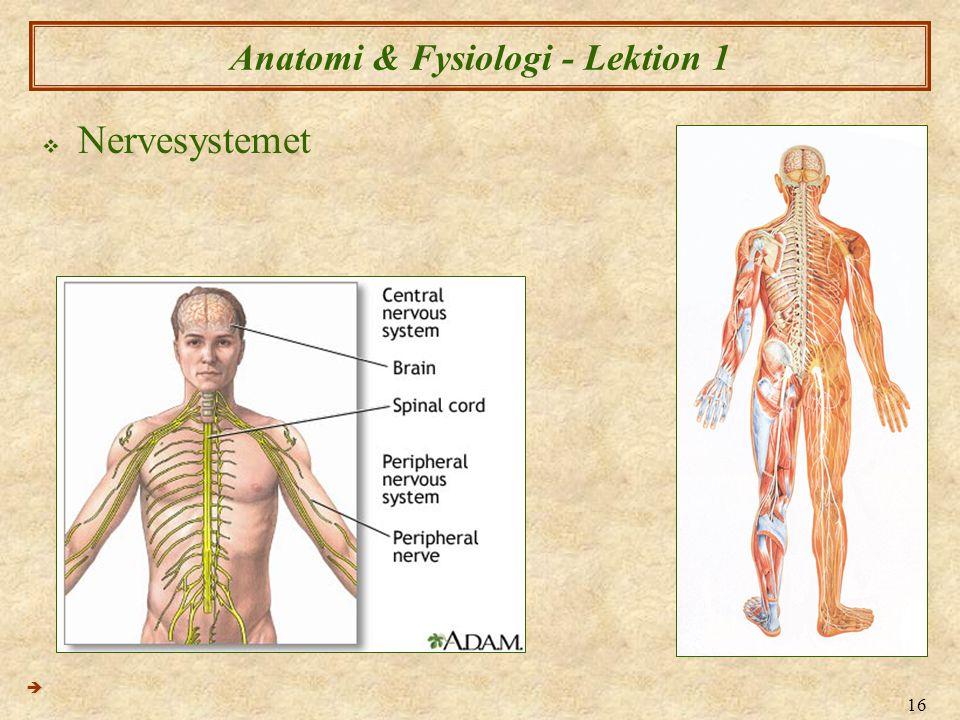 16 Anatomi & Fysiologi - Lektion 1  Nervesystemet 