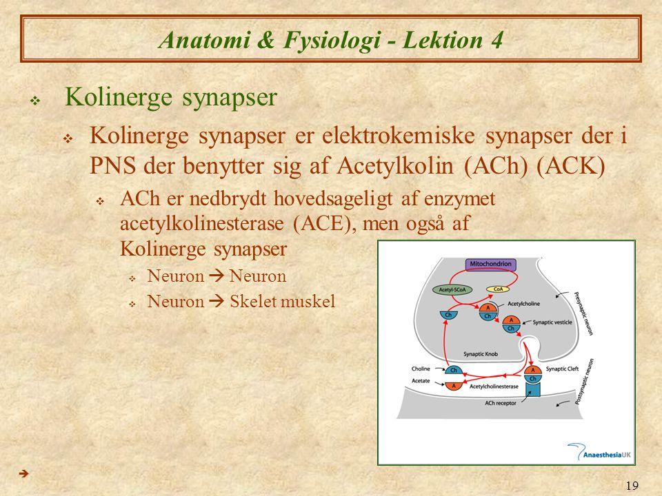 19 Anatomi & Fysiologi - Lektion 4  Kolinerge synapser  Kolinerge synapser er elektrokemiske synapser der i PNS der benytter sig af Acetylkolin (ACh