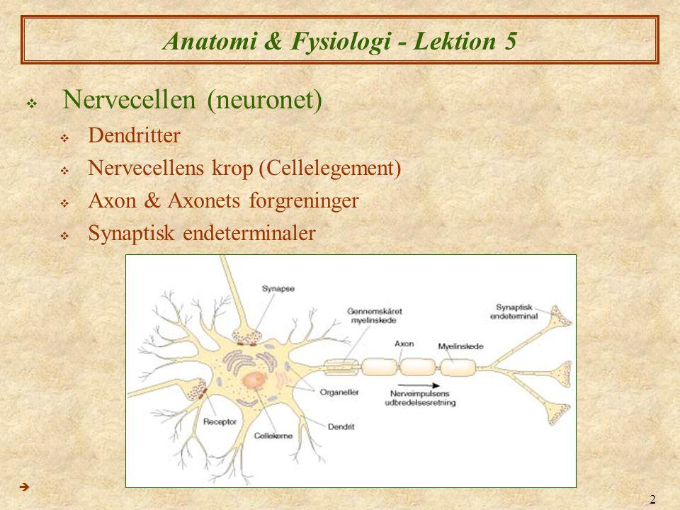 2 Anatomi & Fysiologi - Lektion 5  Nervecellen (neuronet)  Dendritter  Nervecellens krop (Cellelegement)  Axon & Axonets forgreninger  Synaptisk