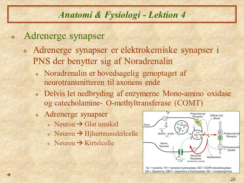 20 Anatomi & Fysiologi - Lektion 4  Adrenerge synapser  Adrenerge synapser er elektrokemiske synapser i PNS der benytter sig af Noradrenalin  Norad