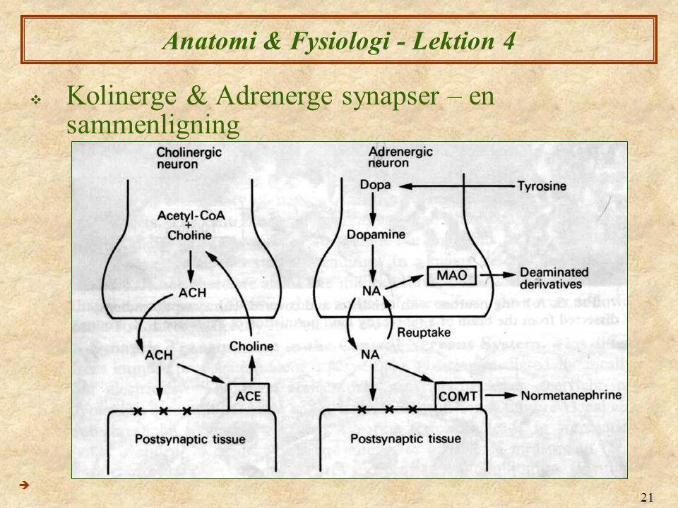 21 Anatomi & Fysiologi - Lektion 4  Kolinerge & Adrenerge synapser – en sammenligning 