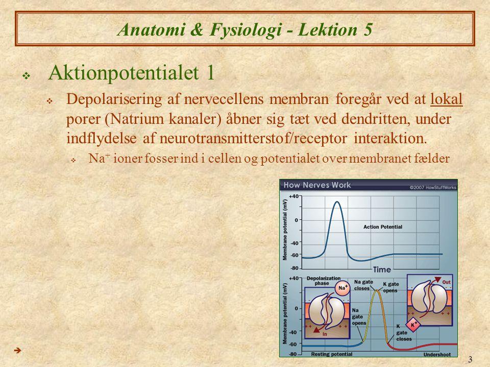 4 Anatomi & Fysiologi - Lektion 5  Aktionpotentialet 2  Kort efter at natrium kanaler åbnes, lukker de igen og der åbnes lokal Kalium kanaler  K + ioner fosser ud af cellen og genopretter normal spænding  Som resultat af denne handling er koncentrationsforholdet nu anderledes end normale.