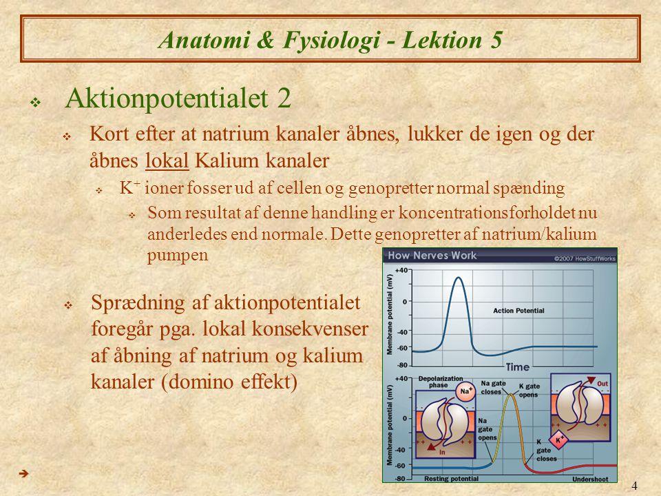 5 Anatomi & Fysiologi - Lektion 5  Synapse og neurotransmittere 1(elektrokemisk)  Overførsel af et nervesignal fra en neuron til an anden (eller til en muskel) foregår over en synapse ved hjælp af nuerotransmitterstoffer  Når aktionpotentialet helt ned i enden af axonet, stimulerer det frigørelse af transmitterstoffer fra vesikler (eksocytose)  Processen skyldes åbning af Ca 2+ (kalcium ioner) kanaler i neuronets cellemembran  Efter frigørelse, nedbrydes eller genoptages neurotransmitterstoffer ved aktive transport Ca 2+ (kalcium ioner) pumpes ud a neuronet 