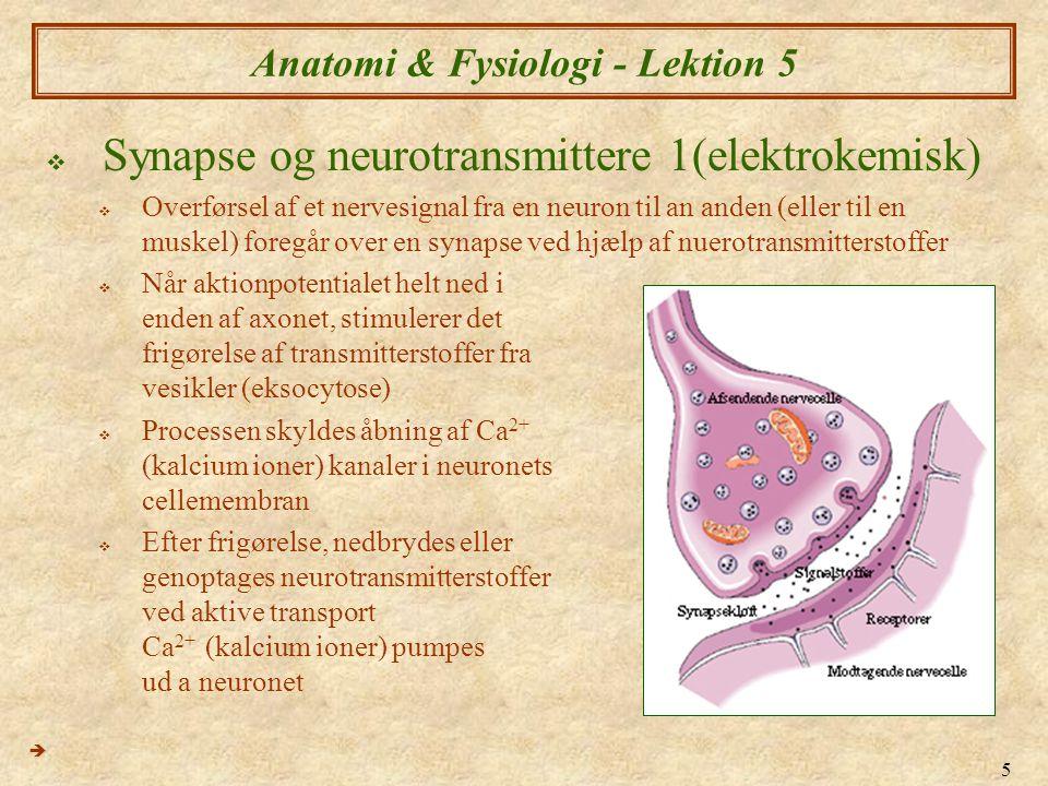 5 Anatomi & Fysiologi - Lektion 5  Synapse og neurotransmittere 1(elektrokemisk)  Overførsel af et nervesignal fra en neuron til an anden (eller til