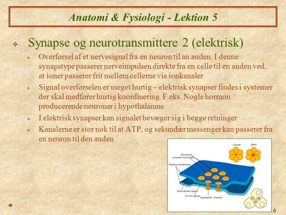 6 Anatomi & Fysiologi - Lektion 5  Synapse og neurotransmittere 2 (elektrisk)  Overførsel af et nervesignal fra en neuron til an anden. I denne syna