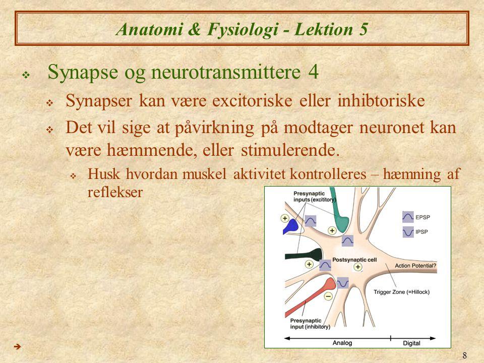 19 Anatomi & Fysiologi - Lektion 4  Kolinerge synapser  Kolinerge synapser er elektrokemiske synapser der i PNS der benytter sig af Acetylkolin (ACh) (ACK)  ACh er nedbrydt hovedsageligt af enzymet acetylkolinesterase (ACE), men også af Kolinerge synapser  Neuron  Neuron  Neuron  Skelet muskel 