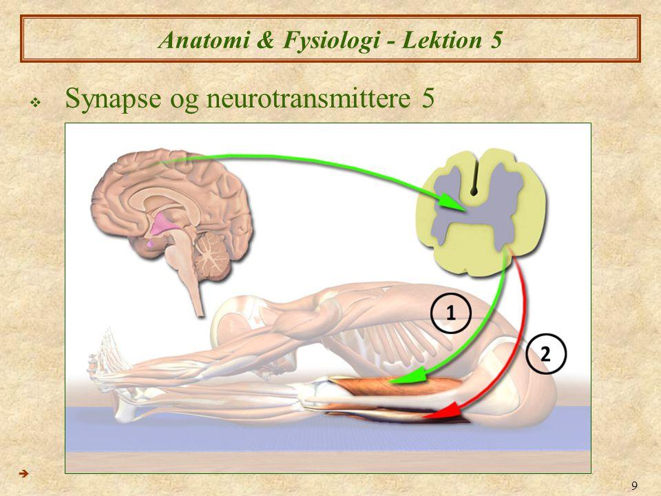 20 Anatomi & Fysiologi - Lektion 4  Adrenerge synapser  Adrenerge synapser er elektrokemiske synapser i PNS der benytter sig af Noradrenalin  Noradrenalin er hovedsagelig genoptaget af neurotransmitteren til axonens ende  Delvis let nedbryding af enzymerne Mono-amino oxidase og catecholamine- O-methyltransferase (COMT)  Adrenerge synapser  Neuron  Glat muskel  Neuron  Hjhertemuskelcelle  Neuron  Kirtelcelle 