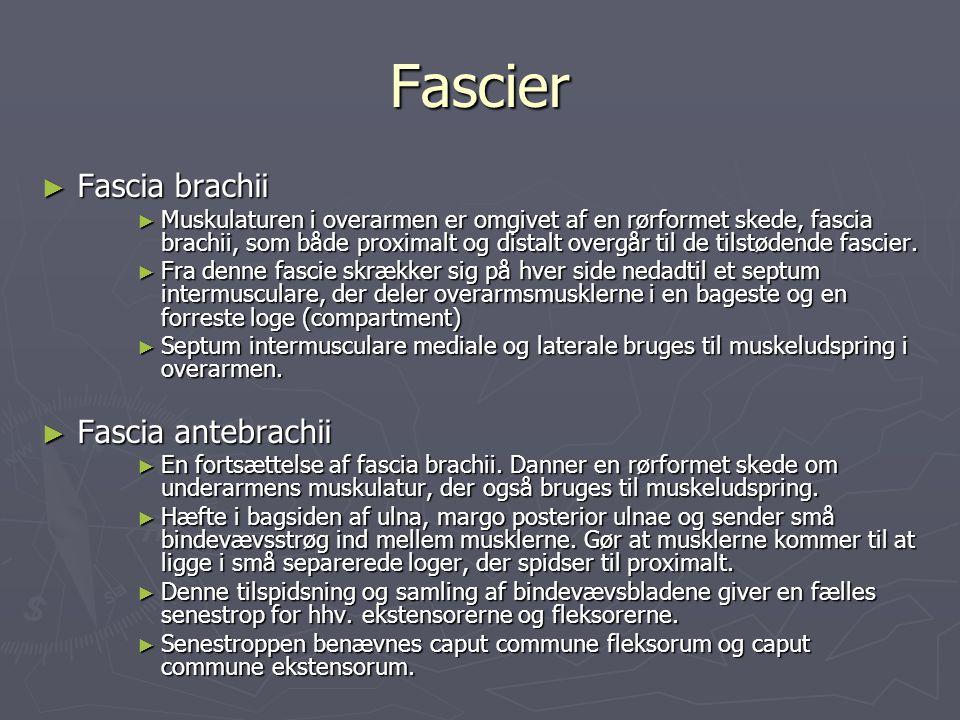 Fascier ► Fascia brachii ► Muskulaturen i overarmen er omgivet af en rørformet skede, fascia brachii, som både proximalt og distalt overgår til de til