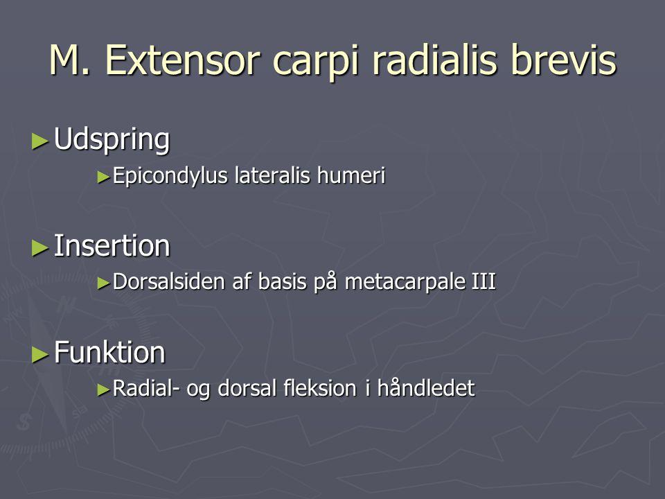 M. Extensor carpi radialis brevis ► Udspring ► Epicondylus lateralis humeri ► Insertion ► Dorsalsiden af basis på metacarpale III ► Funktion ► Radial-