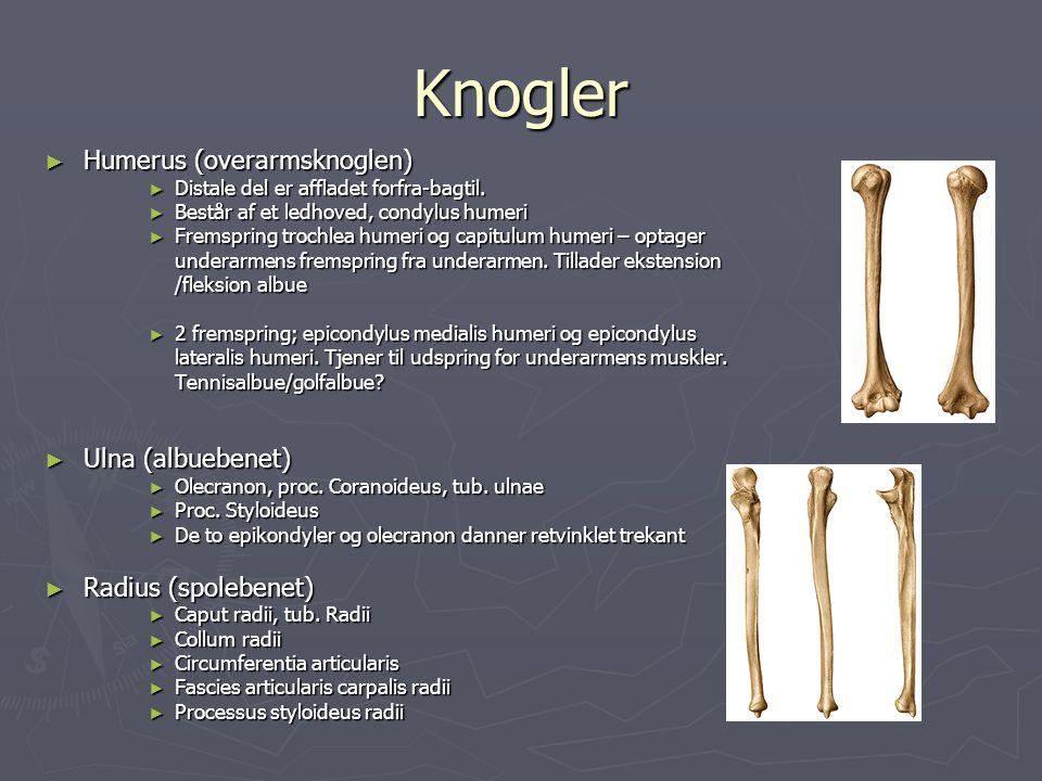 Underarmens flexor – pronator gruppe ► Musculus pronator teres ► M.