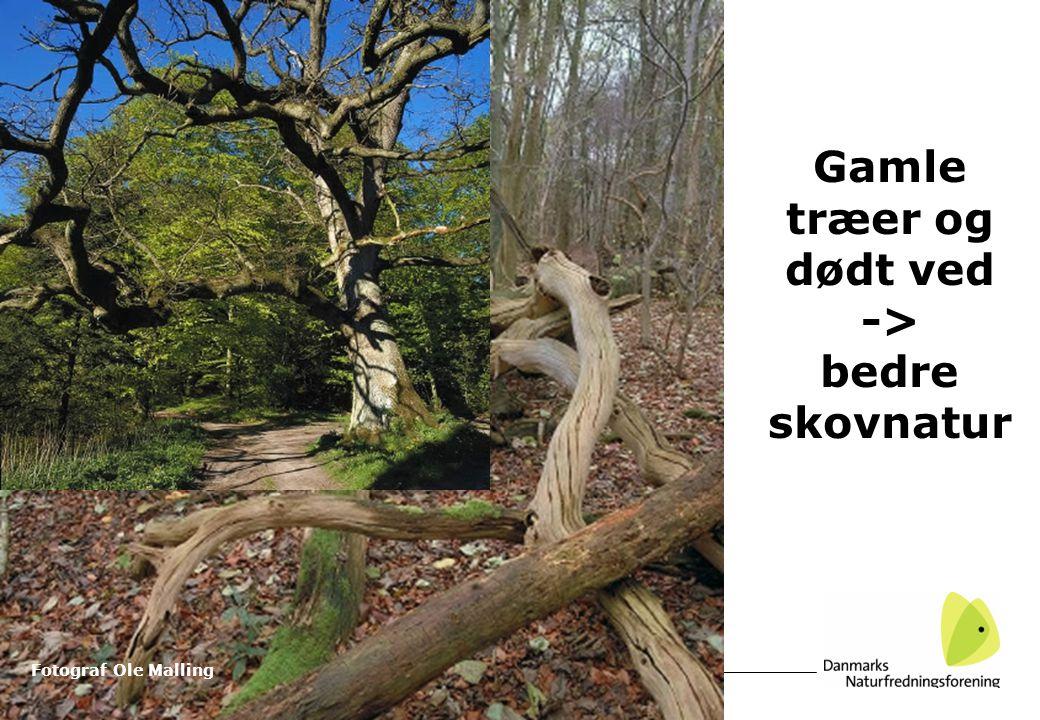 Gamle træer og dødt ved -> bedre skovnatur Fotograf Ole Malling