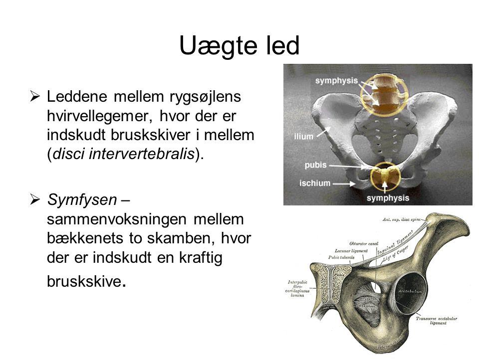 Uægte led  Leddene mellem rygsøjlens hvirvellegemer, hvor der er indskudt bruskskiver i mellem (disci intervertebralis).