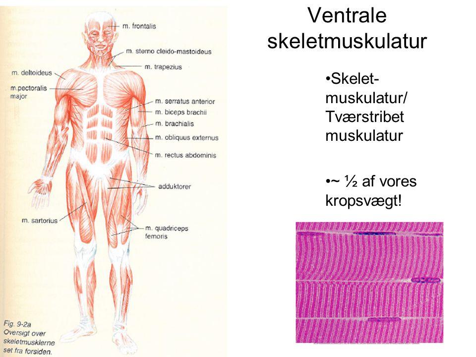 Ventrale skeletmuskulatur •Skelet- muskulatur/ Tværstribet muskulatur •~ ½ af vores kropsvægt!