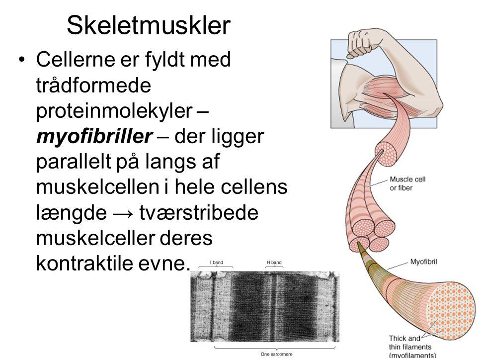 •Cellerne er fyldt med trådformede proteinmolekyler – myofibriller – der ligger parallelt på langs af muskelcellen i hele cellens længde → tværstribede muskelceller deres kontraktile evne.