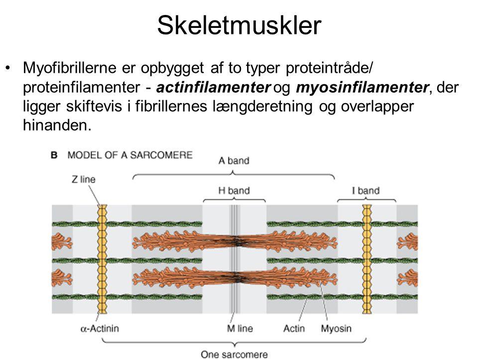 Skeletmuskler •Myofibrillerne er opbygget af to typer proteintråde/ proteinfilamenter - actinfilamenter og myosinfilamenter, der ligger skiftevis i fibrillernes længderetning og overlapper hinanden.