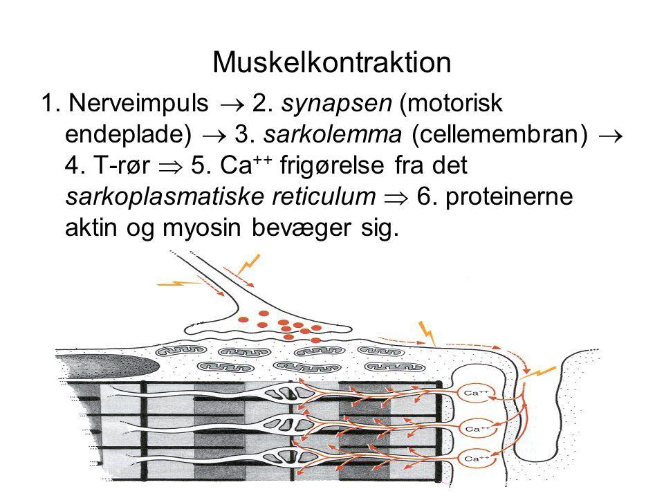 Muskelkontraktion 1.Nerveimpuls  2. synapsen (motorisk endeplade)  3.