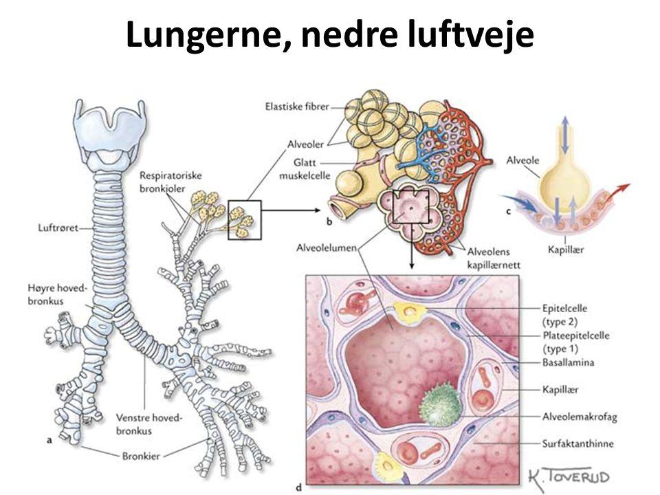 Lungerne, nedre luftveje består af bronkielapper