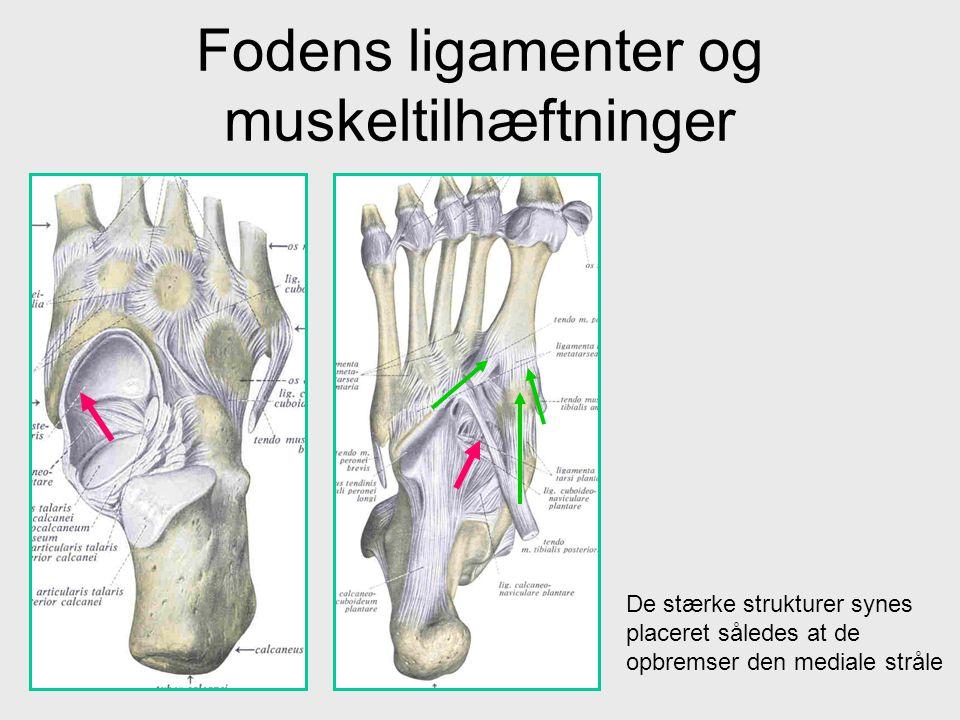 Fodens ligamenter og muskeltilhæftninger De stærke strukturer synes placeret således at de opbremser den mediale stråle