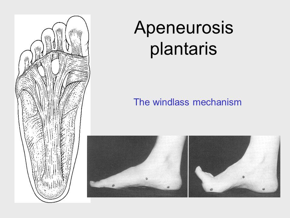 Apeneurosis plantaris The windlass mechanism