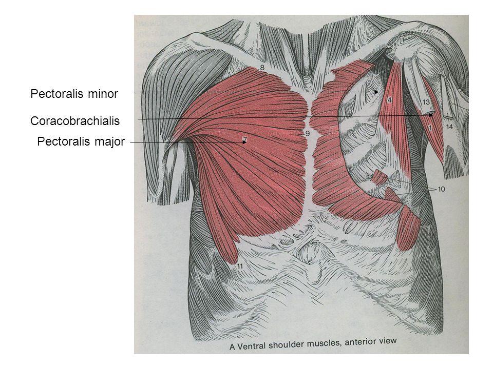 Pectoralis minor Pectoralis major Coracobrachialis