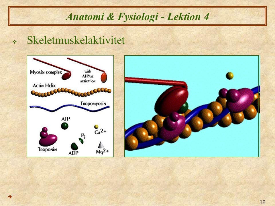 10 Anatomi & Fysiologi - Lektion 4  Skeletmuskelaktivitet 