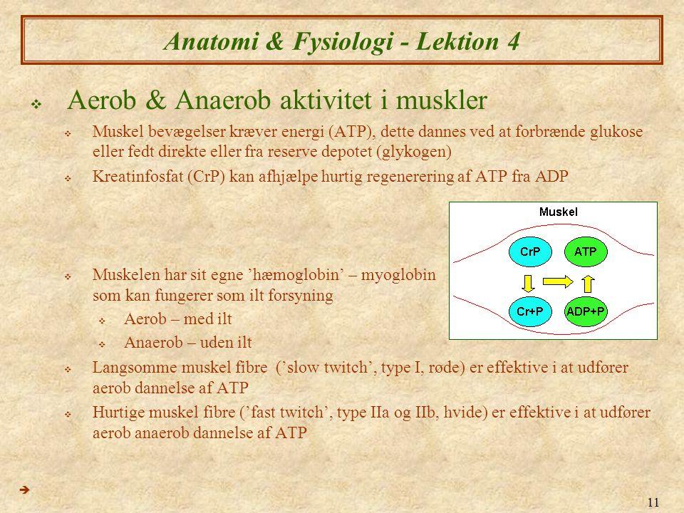 11 Anatomi & Fysiologi - Lektion 4  Aerob & Anaerob aktivitet i muskler  Muskel bevægelser kræver energi (ATP), dette dannes ved at forbrænde glukos
