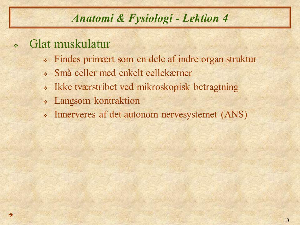 13 Anatomi & Fysiologi - Lektion 4  Glat muskulatur  Findes primært som en dele af indre organ struktur  Små celler med enkelt cellekærner  Ikke t