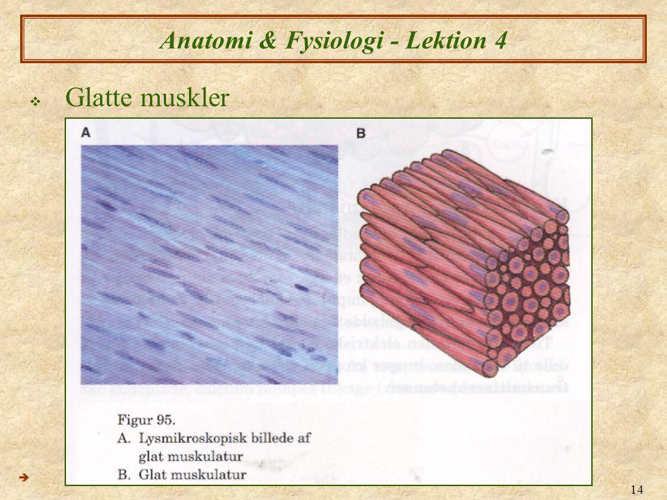 14 Anatomi & Fysiologi - Lektion 4  Glatte muskler 