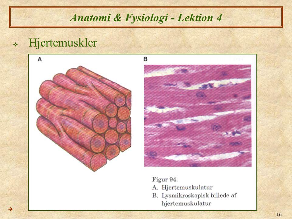 16 Anatomi & Fysiologi - Lektion 4  Hjertemuskler 